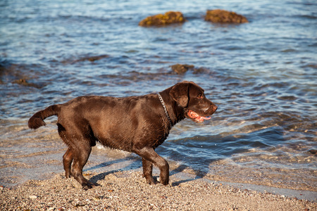 brown labrador: Profile view of a brown Labrador getting wet and having fun at the beach Stock Photo