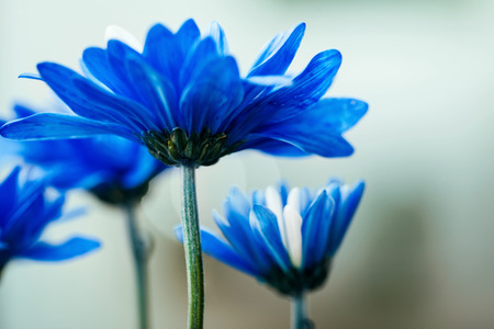 Profile macro view of several blue daisies in a garden Banque d'images