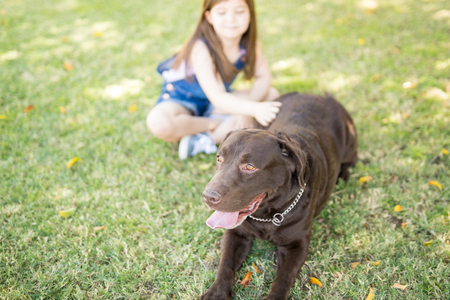 Portrait of a brown chocolate labrador dog resting in outdoor park with tongue out and girl stroking hand on back.
