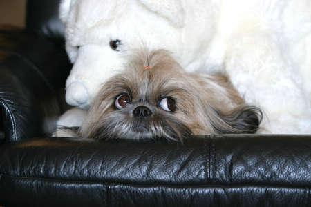 homelike: shih tzu with teddy bear tenderness on a black sofa