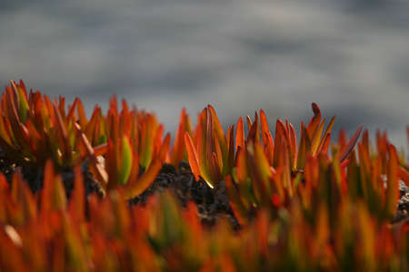 edulis: red carpobrotus edulis with sea backgroung contrast