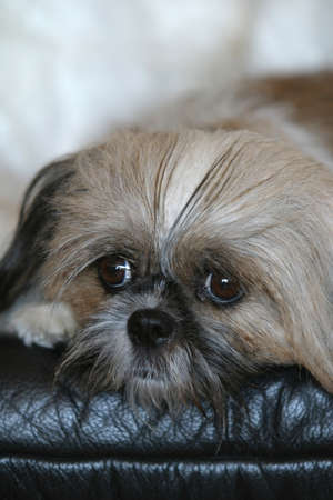 homelike: shih tzu dog face melancolia on a black sofa Stock Photo
