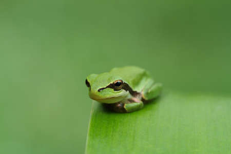 Hyla tree frog on a green leaf and green background  Wide photo