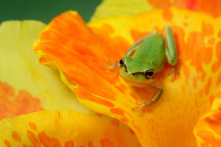 hyla: Little hyla tree frog on a yellow and orange flower watching at the camera