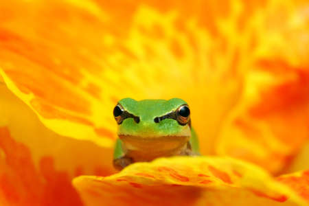 hyla: Hyla tree frog on a yellow and orange flower watching at the camera, resting and waiting  Stock Photo