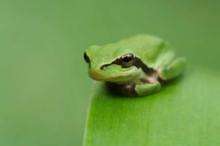 green frog: Hyla tree frog on a green leaf and green background watching at the camera, waiting, watching and resting