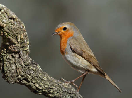 erithacus: Erithacus rubecula robin perched on a branch side face with a grey unfocused background Stock Photo