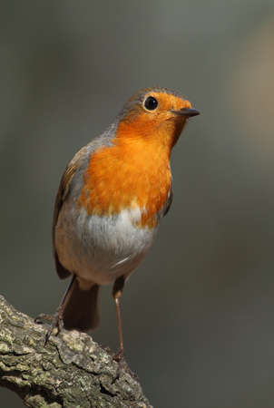rubecula: Erithacus rubecula robin perched on a branch surprised and alert