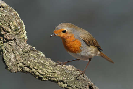 rubecula: Erithacus rubecula robin perched on a branch watching with a grey background