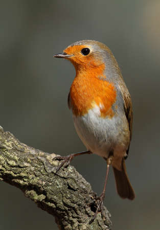 erithacus: Erithacus rubecula robin perched on a branch with a grey background