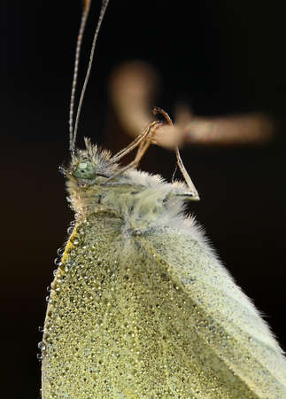 lepidopteran: Common butterfly with dew drops with a black background