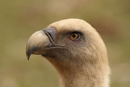 Gyps fulvus griffon vulture head portrait in a green background photo