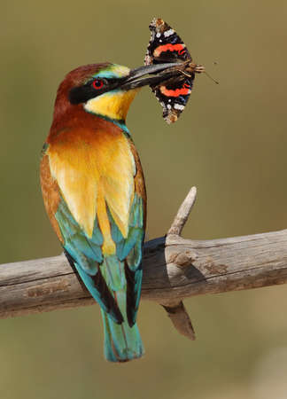eater: Merops apiaster bee-eater with a butterfly in a green background