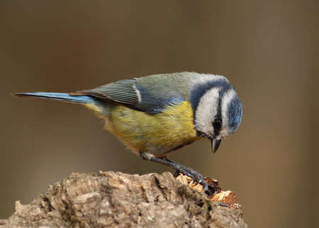 caeruleus: Parus caeruleus tit  on a branch looking for food with a brown background