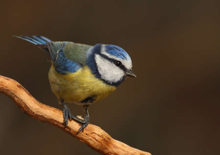caeruleus: Parus caeruleus tit perched on a branch eating a sunflower seed