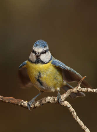 caeruleus: Parus caeruleus tit perched on a branch flapping wings