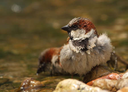 domesticus: Passer domesticus sparrow bathing in a riverside Stock Photo