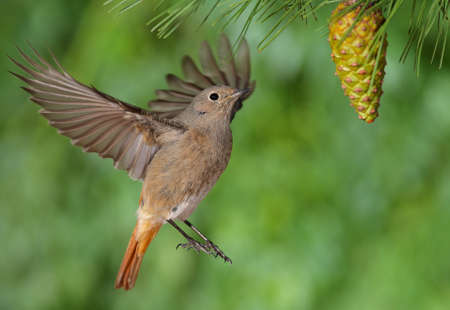 liveliness: Phoenicurus ochruros redstart female flying with a green background