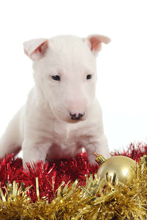 White bull terrier puppy with christmas balls and garlands in a white isolated background photo