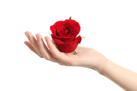 Beautiful woman hand holding a red rose on a white isolated background                photo