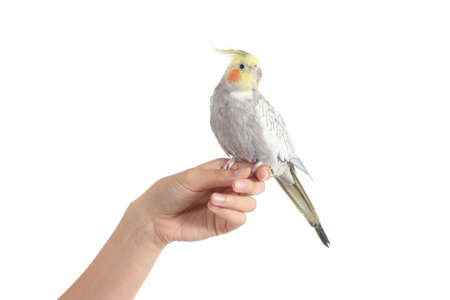 Woman hand holding a beautiful cockatiel bird isolated on a white background photo