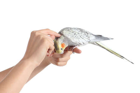 Woman hand holding and caressing a cockatiel bird isolated on a white background                 photo