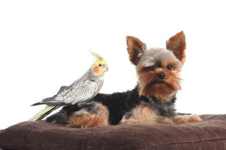Cockatiel bird over a yorkshire Terrier pet posing together on a pillow isolated on a white background photo
