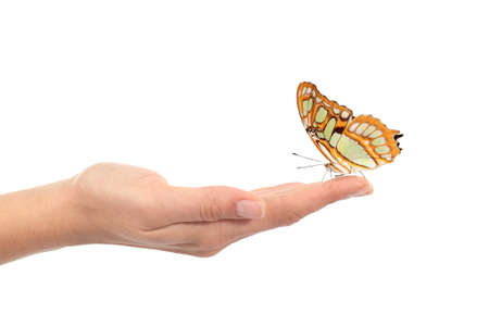 butterfly hand: Woman hand holding a beautiful butterfly isolated on a white background