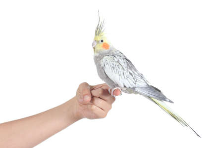 Profile of a woman hand holding a beautiful cockatiel bird isolated on a white background photo