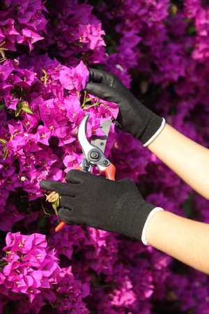 Close up of a gardener hands with gloves cutting flowers with secateurs photo