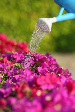 L'eau peut arroser une belles fleurs roses avec un arrière-plan flou vert