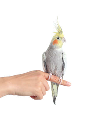 Woman hand holding a cockatiel parrot with forefinger isolated on a white background photo