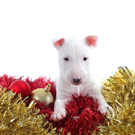 Pretty bull terrier pet on a christmas ornaments isolated on a white background           photo