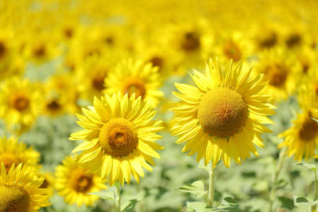 plant seed: Big sunflower in the middle of a yellow meadow