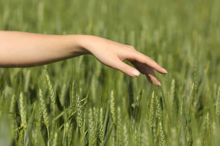 gentle dream vacation: Close up of a woman hand touching softly wheat in a green field in summertime Stock Photo