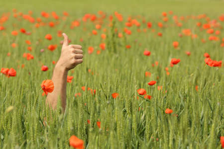 赤いケシの花で小麦牧草地の真ん中に親指と手
