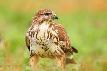 Portrait of a common buzzard bird standing on the green grass