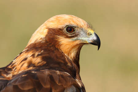 Side view portrait of the detailed head of a marsh harrier with a blur background