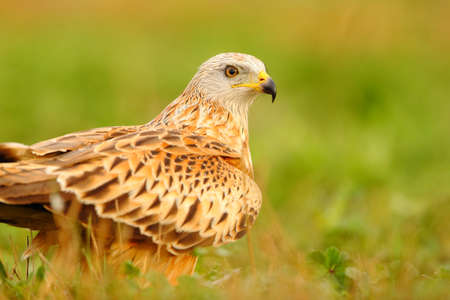 Portrait of a beautiful red kite bird standing on the grass