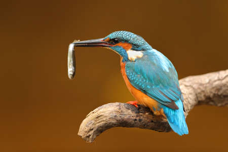 Portrait of a kingfisher with a fish in the beak perched on a branch with an unfocused background