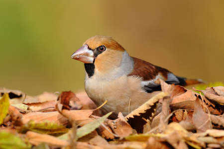 Portrait of a hawfinch over leafs on the ground with an unfocused background