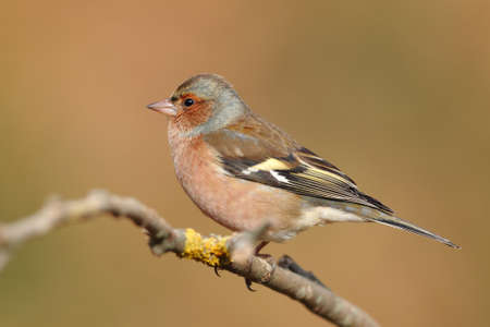 Portrait of a chaffinch perfhed on a branch with an unfocused background 스톡 콘텐츠