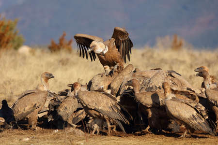 Group of griffon vultures eating on a field