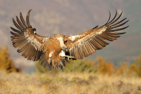 Griffon vulture flying before landing on a field