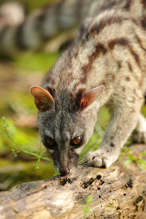 Genet smelling on a trunk in a forest with day light Stock Photo