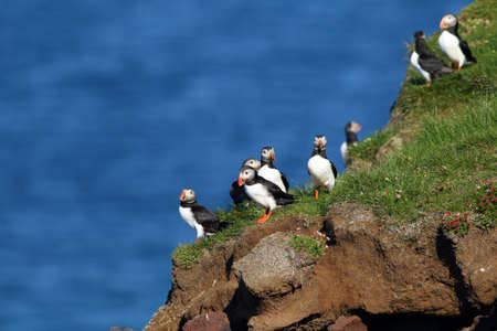 Puffins in Latrabjarg cliffs in iceland with the sea in the background Stock Photo