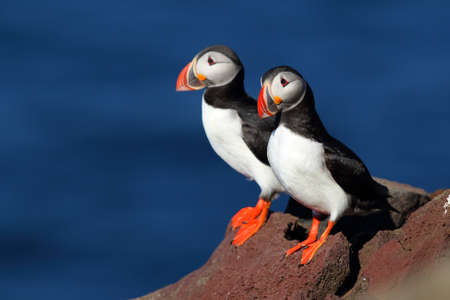 Two beautiful puffins on an iceland cliff Stock Photo