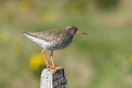 Common redshank Tringa totanus icelandic bird on a pole Stock Photo