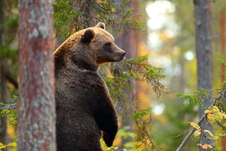 Big brown bear standing couting in a forest