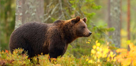 Side view portrait of a big brown bear in a forest
